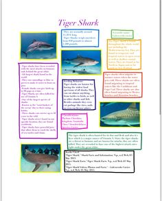 Tiger Shark Infographic