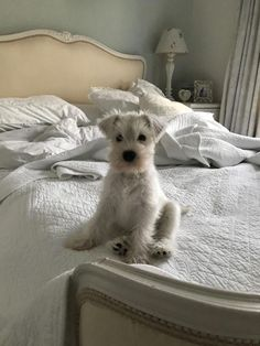Ranked as one of the most popular dog breeds in the world, the Miniature Schnauzer is a cute little square faced furry coat. Cute Dogs And Puppies, I Love Dogs, Doggies, Silly Dogs, Smiling Dogs, Baby Dogs, Funny Dogs, Animals And Pets, Funny Animals