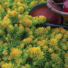 Sedum Angelina is the best-ever   Sun Ground Cover   for your garden. Vigorous & dependable, it will grow over a foot wide in a season.   Golden-yellow, needle-like evergreen foliage stays attractive & take on reddish tones in the cooler months of spring & fall. Upright yellow flowers grow 6-8 inches tall in early summer.   Low growing  Sedums  are THE best sun perennial container plant for hot sunny decks since they don't mind dry spells and will not fail you if you are gone for the…