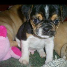 Puggle puppy..mine