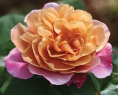 "Distant Drums. Strange name for a rose.     A wonderful rose with one of the most unique colorings in rosedom. Bred from 'September Song' X 'The Yeoman'. Large, cupped, fully double 4"" blooms with ruffled petals are bronze-brown in the center shading to lavender toward the edges. A rare beauty. Heady, myrrh fragrance, an outstanding rose on a continually blooming upright bushy plant. 24+ petals."