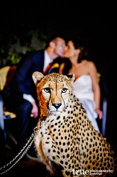 A majestic cheetah at San Diego Zoo Safari Park Wedding