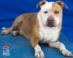 12/24/16 || Meet King, an #adoptable #Pit Bull Terrier #dog looking for a forever home. | PEANUT'S PLACE BULLY RESCUE @ 719-478-3370 || #Yoder, #CO || peanutsplacerescue@yahoo.com