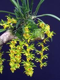 orquideas brasileiras nativas - Pesquisa Google