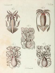Mollusca.    Fig 1. Le Calamar    Fig 2. Le Calamar flèche    Fig 3 + 4. Le Poulpe commun    Fig 5. Le Poulpe granuleux    Porte-Feuille Instructif et Amusant pour la Jeunesse. F. J. Bertuch, 1807.
