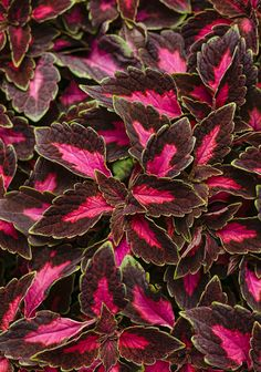 ColorBlaze Velveteen Coleus from Proven Winners has stunning bright pink and deep purple foliage with a lime green edge. It is heat tolerant, resists deer and is adaptable as a houseplant. Velveteen is perfect for flower beds, borders and containers. Blue Plants, Shade Plants, Shade Annuals, Border Plants, Proven Winners, Foliage Plants, Annual Plants, Types Of Plants, Outdoor Plants