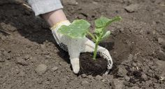 Como plantar uva - Globo Rural   Como plantar