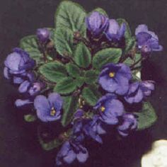 Rob's Twinkle Blue - The Violet Barn - African Violets and More