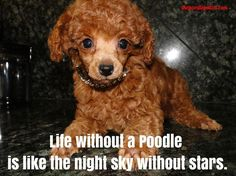 LIFE WITHOUT A POODLE IS LIKE THE NIGHT SKY WITHOUT STARS