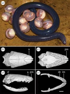 Limbless, primarily soil-dwelling and tropical caecilian amphibians (Gymnophiona)
