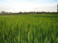 Resultado de imagen de cultivo arroz