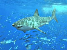 Great White Shark Facts! In spite of its popularity, little is actually known about its habits and it is rarely seen unless it attacks or is caught.