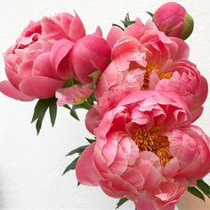 These Peonies 💗 Happy Friday friends x - rosen - Peony Rose, Peony Flower, Flower Art, Cactus Flower, June Flower, Amazing Flowers, Pink Flowers, Beautiful Flowers, Yellow Roses