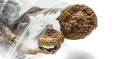 Champignons hallucinogènes: Pendant des milliers d'années, les humains ont consommé des champignons psilocybines pour leurs effets psychoactifs