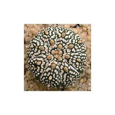 Astrophytum asterias 'Super Kabuto' Graines - Alsagarden, Vente de Plantes