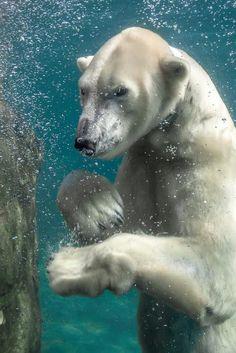 Gorgeous immersed polar bear!