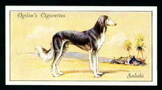 From Ogden's Cigarettes - a collector's card with a Saluki illustration.