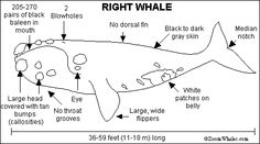 Humpback Whale Printout with interesting