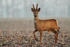 Roe deer by JMrocek on DeviantArt Deer Species, Roe Deer, Wildlife Photography, Portrait Photography, Deer Hunting, Antlers, Animal Pictures, Kangaroo, Safari