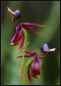 Caleana Major, conocida comúnmente como la orquídea pato por la forma de su labelo muy a esta ave.
