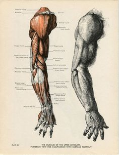 Arm Anatomy Illustration Vintage 1947 Reproduction of Fritz Schider Etching #Vintage