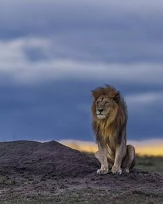 Lion male sitting proud Lion Photography, Wild Animals Photography, Beautiful Creatures, Animals Beautiful, Animals And Pets, Cute Animals, Lion And Lioness, Beautiful Lion, Le Roi Lion