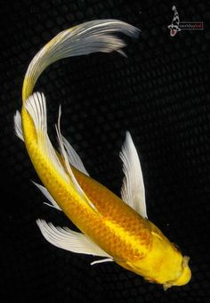 10 YAMABUKI OGON Imported Butterfly Koi live fish nextdaykoi NDK Koi Carp Fish, Coy Fish, Pretty Fish, Beautiful Fish, Butterfly Koi, Koi Painting, Photos Of Fish, Koi Fish Tattoo, Carpe