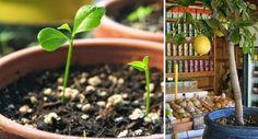 Cómo crecer un árbol de limón desde la semilla - Vida Lúcida
