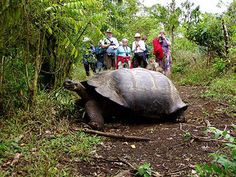 Galapagos tours foscusing on Isabela Island. Travel packages to Galapagos Islands by land, includes hiking, snorkeling. Isla Galapagos, Galapagos Islands Ecuador, Deer Crossing, Santa Cruz Island, Giant Animals, Quito, Vacation Trips, Vacation Destinations, The Great Outdoors