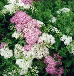 Spiraea japonica 'Shirobana' - Japán gyöngyvessző Colorful Flowers, Wild Flowers, Flower Colors, Home And Garden, Bloom, Herbs, Vegetables, Plants, Southern