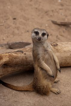 Just now discovering the adorableness of the meerkat! Animals And Pets, Baby Animals, Funny Animals, Cute Animals, Cute Creatures, Beautiful Creatures, Animals Beautiful, Mundo Animal, My Animal