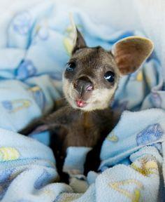 baby canguro