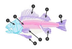 Fish look very simple to draw, but, as with everything, we need to learn something about their anatomy to picture them properly. In this tutorial I'll show you features of a typical fish, as well. Animal Drawings, Fish Drawings, Creature Drawings, Art Drawings, Draw Animals, Drawn Fish, Sharks, Fish Skeleton, Animal Skeletons
