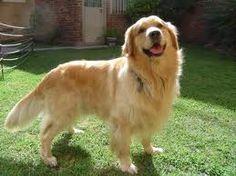 Golden retriever-best breed ever!