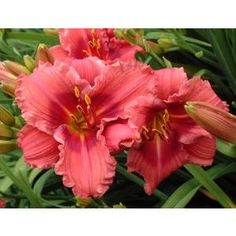 Daylily Gordon Biggs - I like this one!