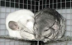 Where to buy a chinchilla URL: http://chinchilla.co/ Fb fan page: https://www.facebook.com/chinchilla.co