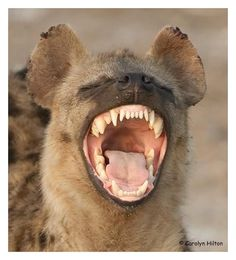 Image result for small photo laughing  hyena