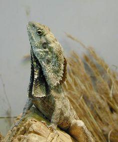 Proud Lizard