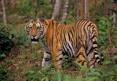 Male Indo-Chinese tiger (Panthera tigris corbetti). Captive, Phnom Tamao Wildlife Rescue Centre, Cambodia