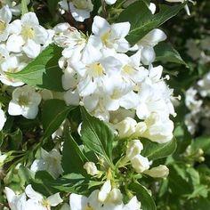 Une floraison blanche pour un Weigelia  Profusion de fleurs blanc pur garantie avec ce superbe weigelia.Il est superbe en massif avec des viburnum ou en haie mélangées avec des photinias, ceanothes et eleagnus panachés. Cet arbuste compact tolère toutes les expositions, même s'il préfère un peu de soleil pour permettre à la floraison de s'épanouir. Le Weigelia blanc s'adapte également dans tous types de terrains frais et drainés.  Le Weigelia blanc est un arbuste compact.