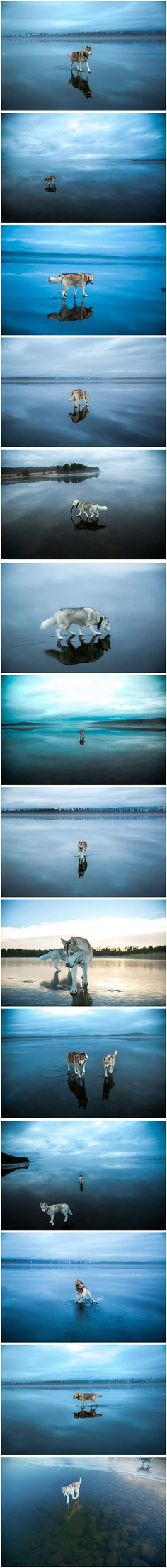 A photographer in Russia who goes by Fox Grom has captured some stunning images of his Siberian Huskies playing on a thawing frozen lake, which makes them seem like they're walking on a giant mirror or on the sky itself.