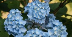 Easy care flowering shrub - endless summer hydrangea - afternoon shade, moist, well-drained soil, zones perfect with white impatiens Garden Shrubs, Flowering Shrubs, Trees And Shrubs, Endless Summer Hydrangea, Hydrangea Not Blooming, Blue Hydrangea, Types Of Blue Flowers, Easy Care Plants, How To Attract Birds