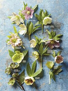 How to Grow Hellebores for Early Spring Blooms Irrepressible hellebores burst through the cold long before spring to delight us with sweet-looking, long-lasting flowers.
