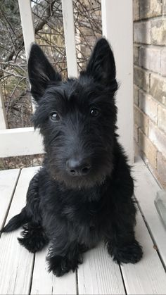 Scottish terrier - sweet Abby Scottish Terrier Puppy, Terrier Dogs, Baby Animals, Cute Animals, Baby Giraffes, Wild Animals, Kawaii, Dogs And Puppies, Big Dogs