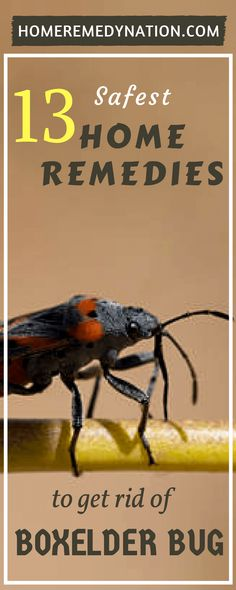 how to get rid of boxelder bugs home remedy