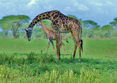 Twiga on the Serengeti by Marcia Young http://focusingonwildlife.com/news/wildfocus/featured/giraffe-baby/