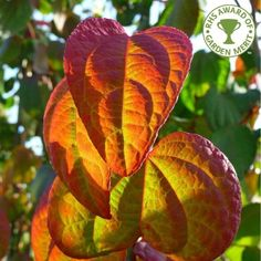 Cercidiphyllum japonicum Tree Katsura Trees - elegant structure, gorgeous leaves, dazzling colour and enticing scent it is easily one of our favourites.