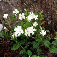 singøn vintergrøn vinca minor alba staude flerårig hvid