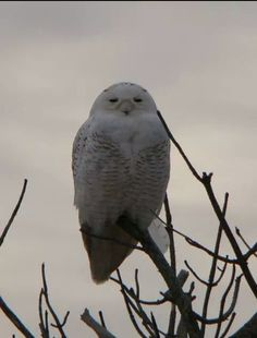 Snowy Owl at West Dennis Beach. Cape Cod,  MA