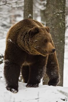 """"""" Snowy bear"""" captive shot in the national park Bavarian Forest by Wilhelm Linse. The brown bear (Ursus arctos) is a large bear distributed across much of northern Eurasia and North America and (with the polar bear) is the largest land-based predator on earth.There are several recognized subspecies within the brown bear species."""